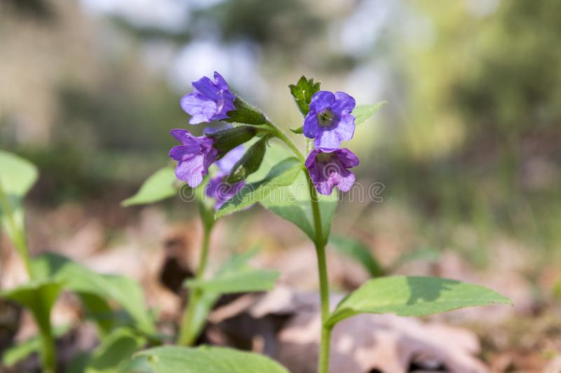 Pulmonaria officinalis in bloom, early springtime stock image