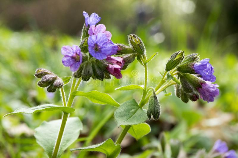Pulmonaria officinalis in bloom, early springtime royalty free stock images