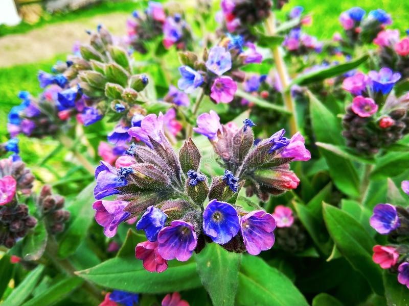 Pulmonaria officinalis in bloom of pink purple and blue violet flowers with leaves royalty free stock photography