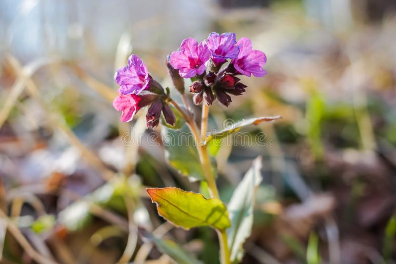 Pulmonaria plant in nature. Close royalty free stock photos