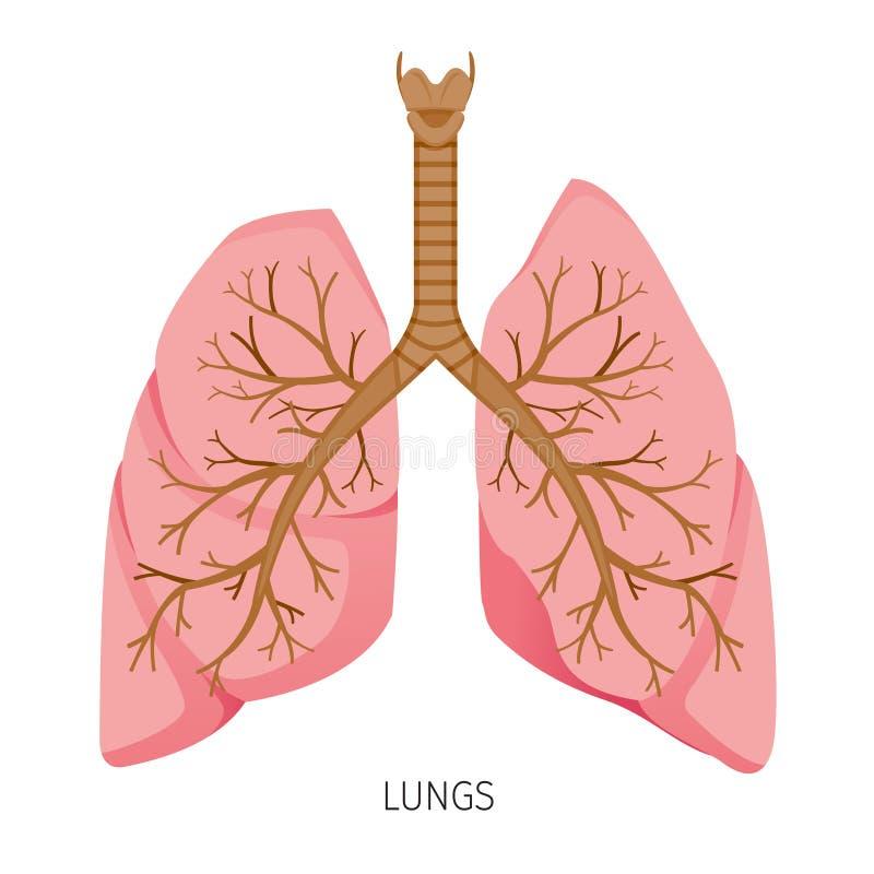 Pulmones, Diagrama Humano Del órgano Interno Ilustración del Vector ...