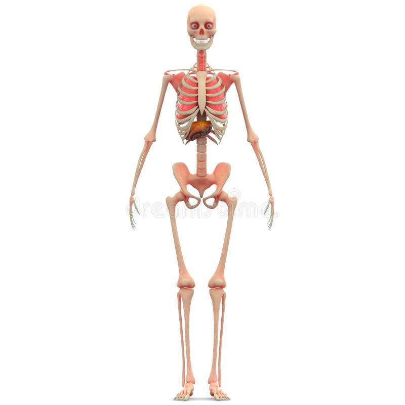 Pulmones esqueléticos humanos con el hígado ilustración del vector