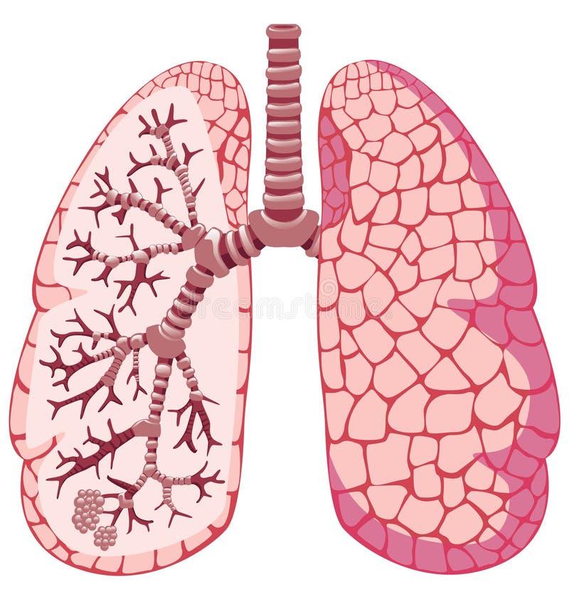Pulmones humanos stock de ilustración