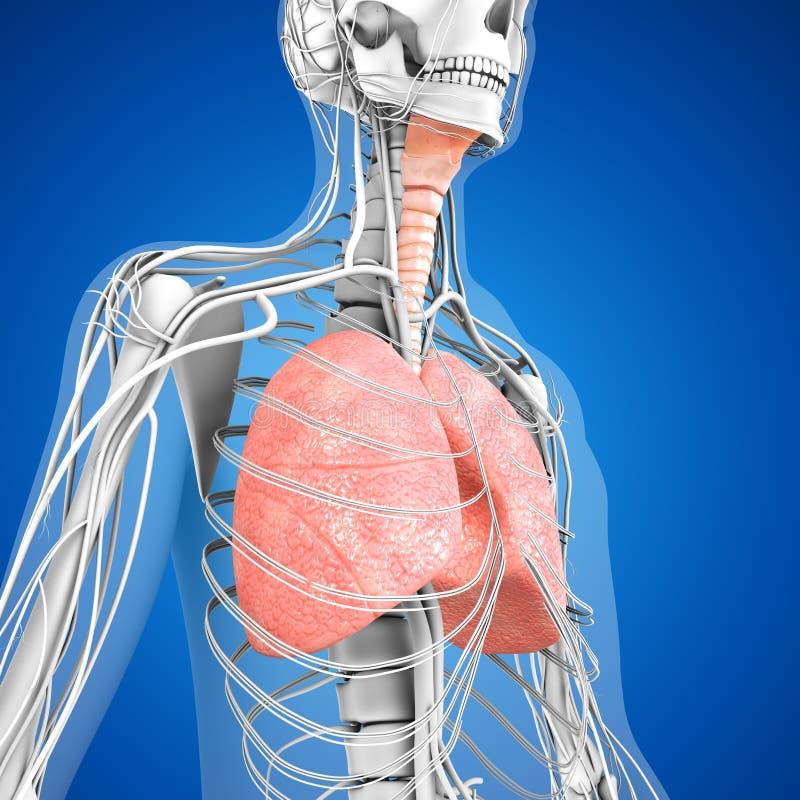 Pulmones humanos stock de ilustración. Ilustración de cavidad - 55452035