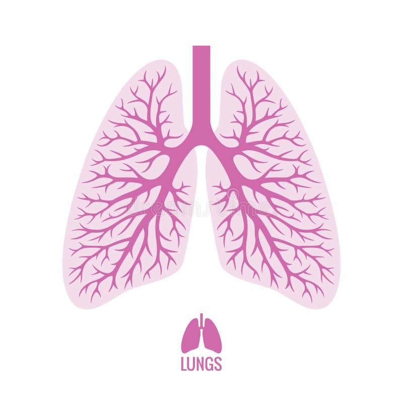 Pulmones humanos con el árbol bronquial libre illustration