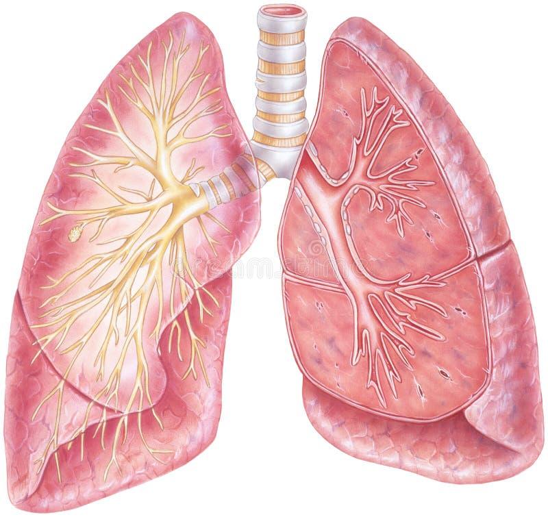 Pulmones - mostrar la tráquea y el árbol bronquial libre illustration