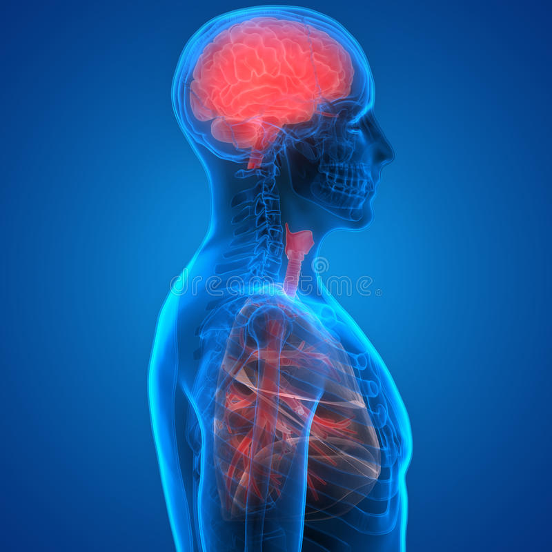 Pulmones Y Cerebro De Los órganos Del Cuerpo Humano Stock de ...