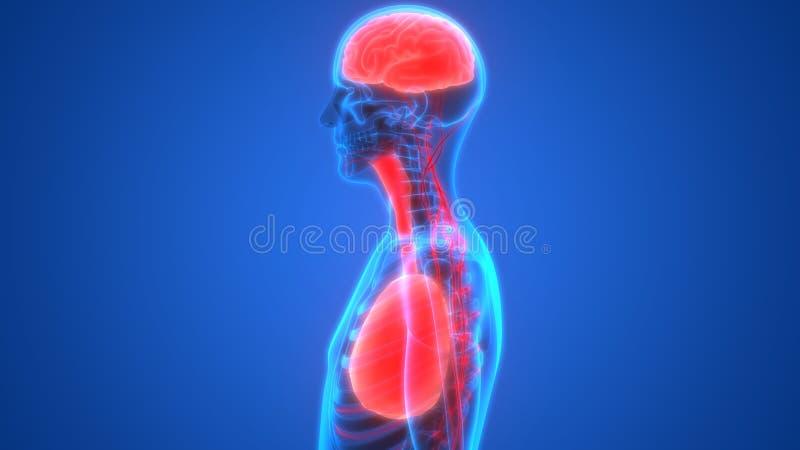 Pulmones y cerebro de los órganos humanos con anatomía del sistema nervioso ilustración del vector
