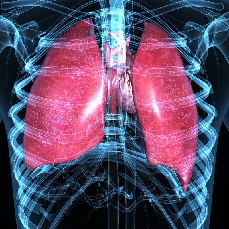 Pulmones y corazón ilustración del vector
