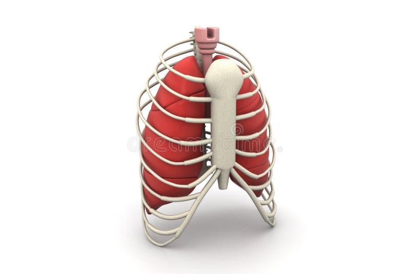 Pulmones y costilla humanos stock de ilustración