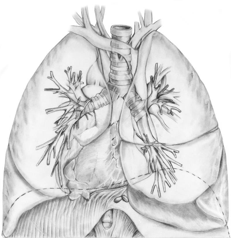 Pulmones y sistema bronquial stock de ilustración