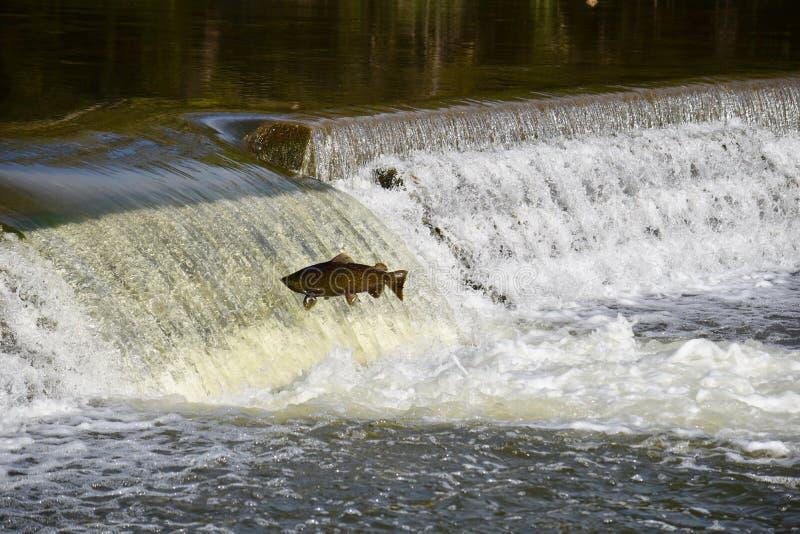 Pulo acima do rio: Salmon Fall Migration foto de stock