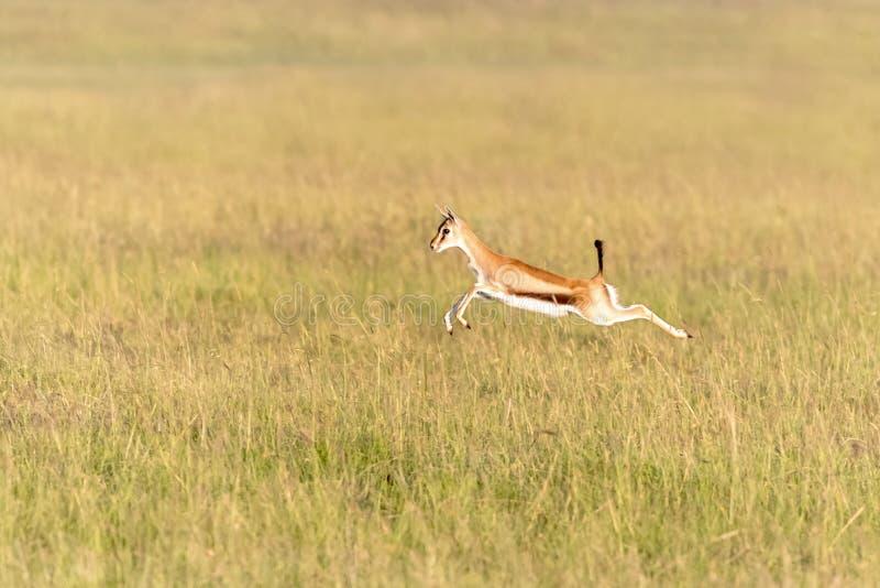 Pulos da gazela de Thomsons na grama longa de Masai Mara foto de stock