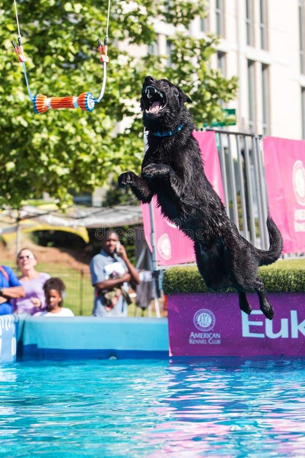Pulos do cão que tentam buscar Toy Over Pool suspendido imagens de stock