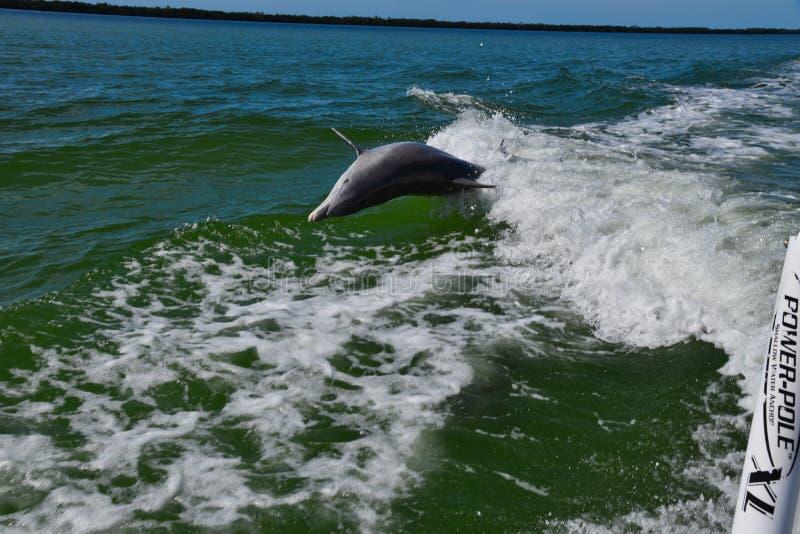 Pulos do golfinho na vigília do barco imagem de stock