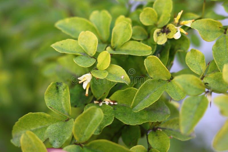 Pulos verdes frescos foto de stock