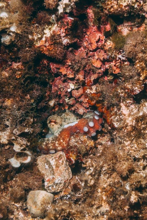 Pulpo camuflado del pulpo vulgaris dentro de su guarida foto de archivo