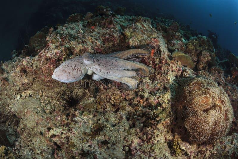 Pulpo subacuático en el mar de Andaman, Tailandia imagenes de archivo