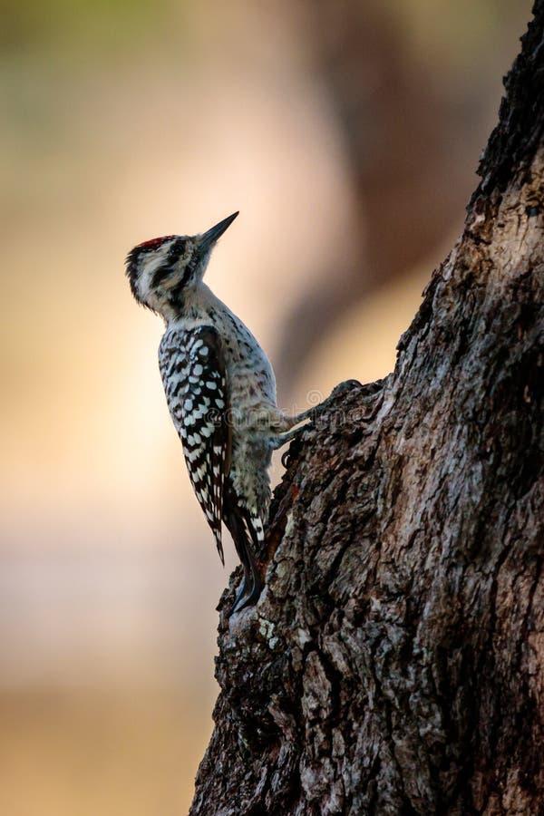 pulsación de corriente Escalera-apoyada en Texas Oak Tree fotografía de archivo libre de regalías