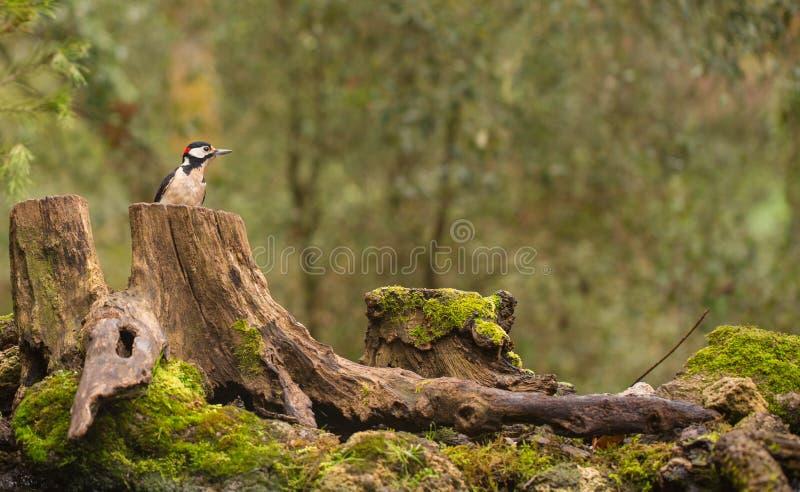 pulsación de corriente Grande-manchada en bosque europeo fotografía de archivo