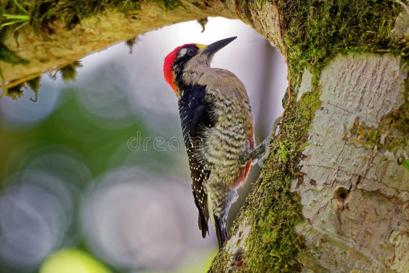 Pulsación de corriente negra-cheeked - pájaro de crianza residente del pucherani del Melanerpes del sur del sudeste de México a E foto de archivo libre de regalías