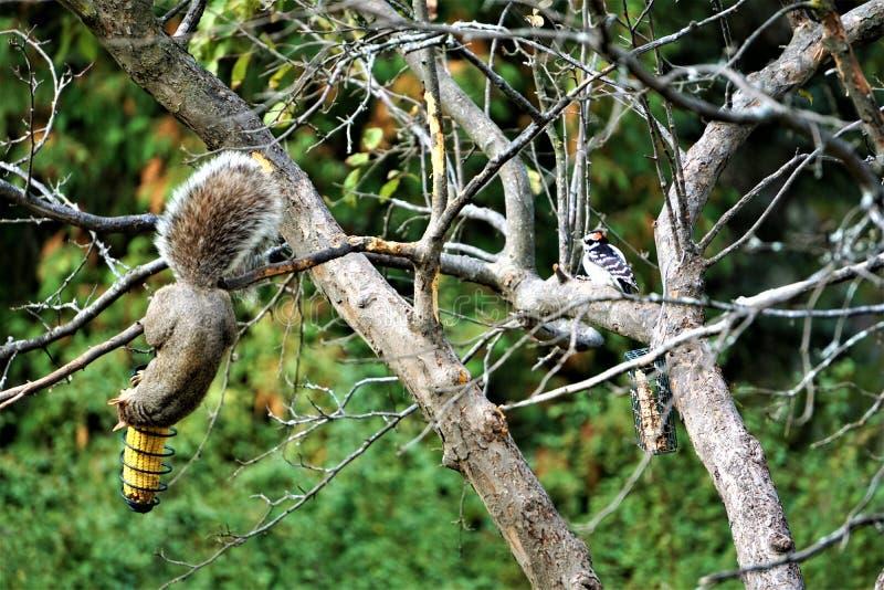 Pulsación de corriente suave del amd de Gray Squirrel que alimenta en otoño imagen de archivo libre de regalías