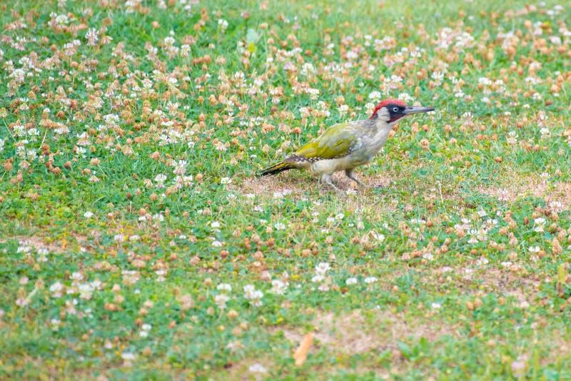 Pulsación de corriente verde, Picus Vinidis, pájaro de la pulsación de corriente que se sienta en prado imagen de archivo
