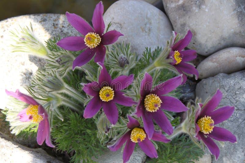 Pulsatilla ветреницы - первые цветки весны грели по солнцу стоковые фото