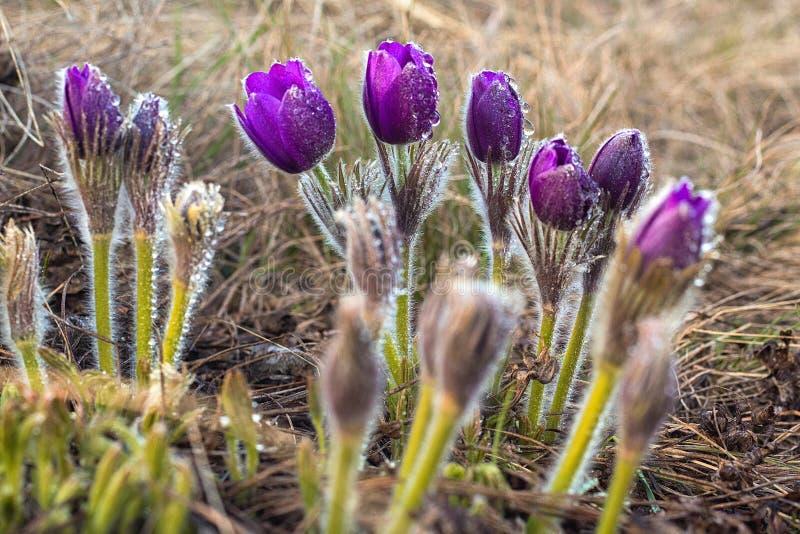 Pulsatilla, цветок Pasque, цветок весны, Pulsatilla vulgaris с падениями воды стоковая фотография