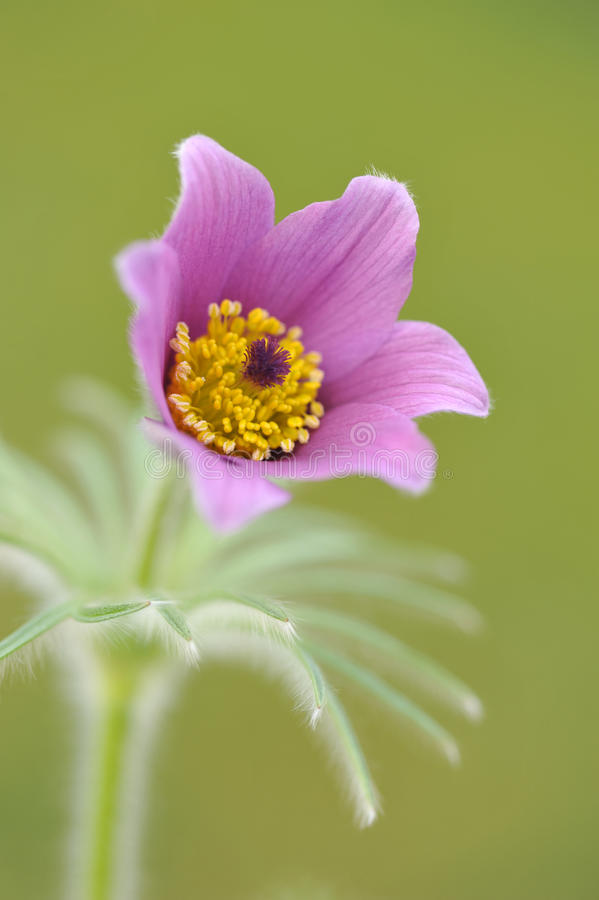Pulsatilla de fleur de Pasque vulgaris image libre de droits