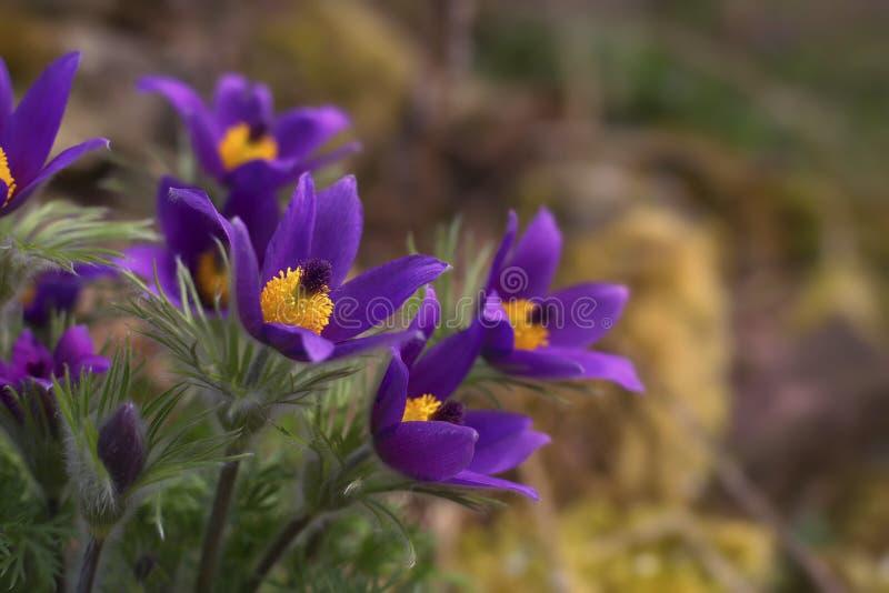 Pulsatilla do grupo da flor de Pasque vulgar foto de stock royalty free