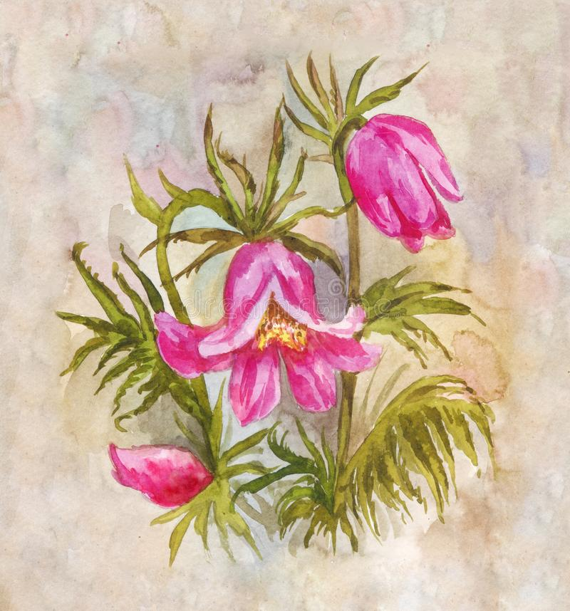 Pulsatilla illustration. Watercolor spring flower. Field bouquet royalty free stock photos