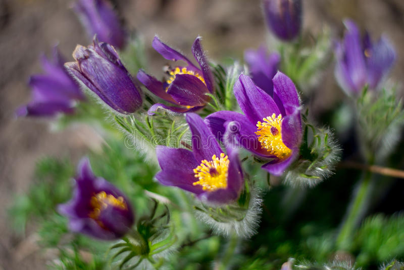 Pulsatilla im Frühjahr Pasque-Blumenblühen stockfoto