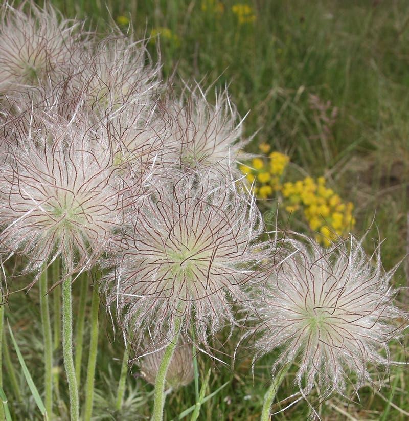 Pulsatilla kwiatu ziarna obraz stock