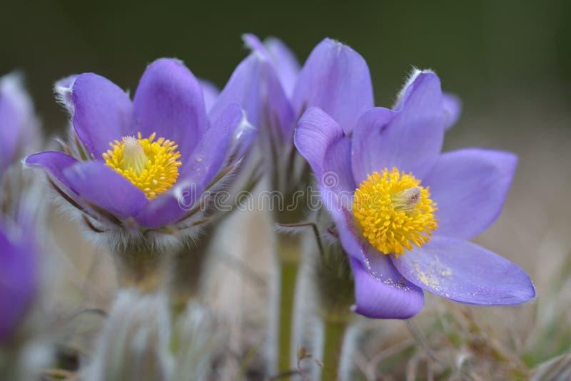 Pulsatilla montana de Pasqueflower da montanha imagens de stock