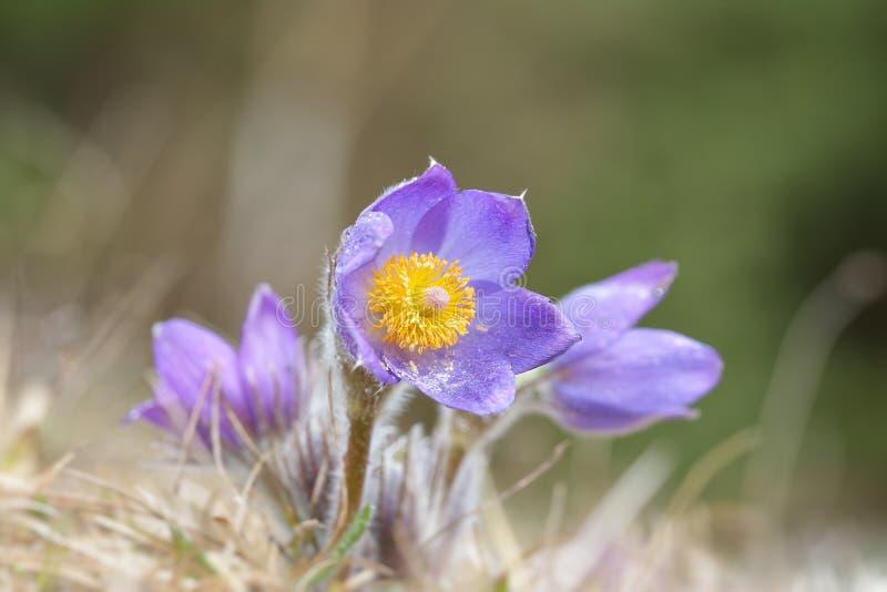 Pulsatilla montana de Pasqueflower da montanha foto de stock royalty free