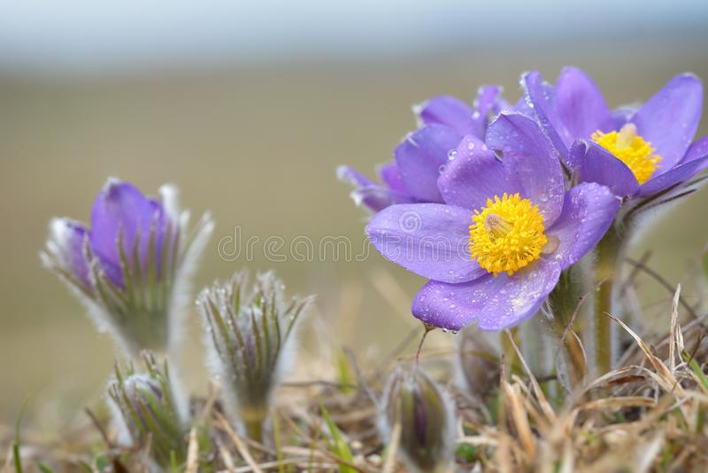 Pulsatilla montana de Pasqueflower da montanha imagem de stock royalty free