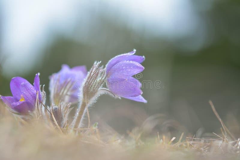 Pulsatilla montana de Pasqueflower da montanha fotos de stock