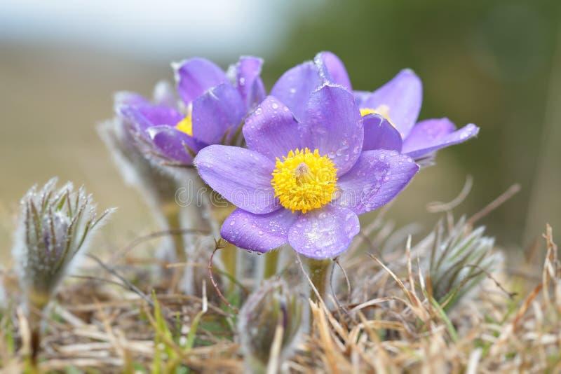 Pulsatilla Montana de Pasqueflower de montagne photos libres de droits