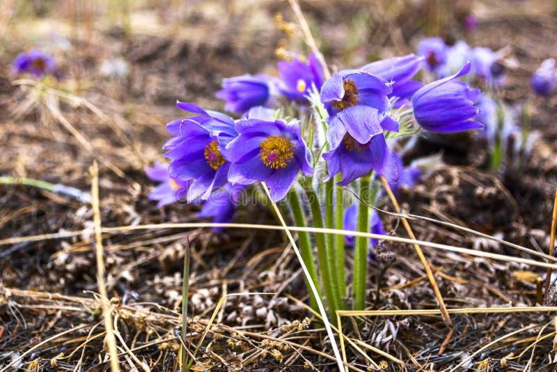 Pulsatilla oder sibirisches Schneeglöckchen Schöne purpurrote kleine Pelzpasqueblume Pulsatilla, der auf Frühlingswiese blüht stockfotografie