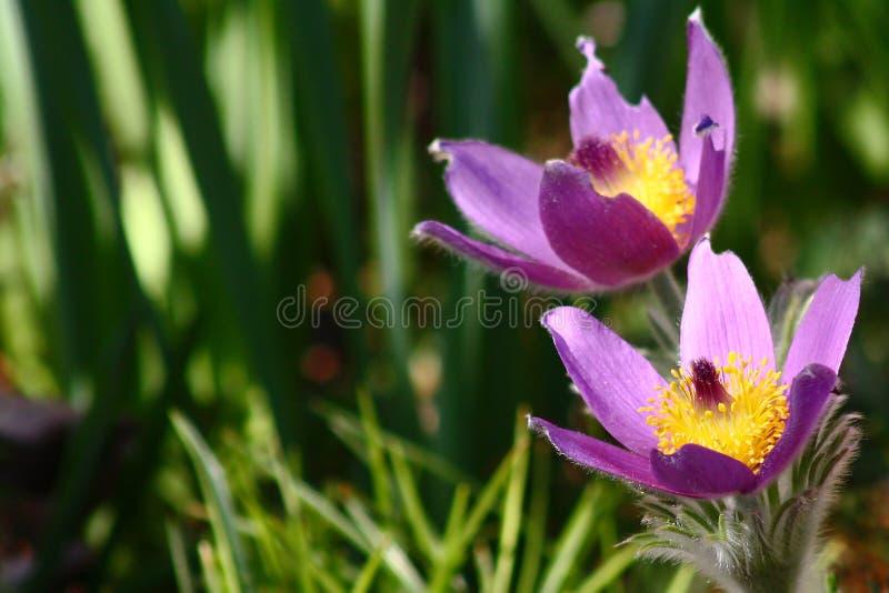 Pulsatilla pasque flower stock photos
