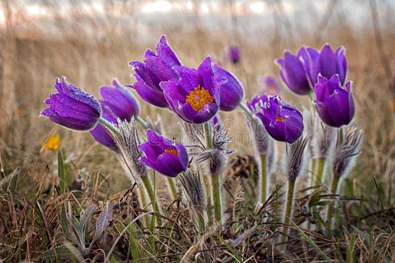Pulsatilla, Pasque Flower, Frühlingsblume, Pulsatilla gemein mit Wassertropfen lizenzfreies stockbild