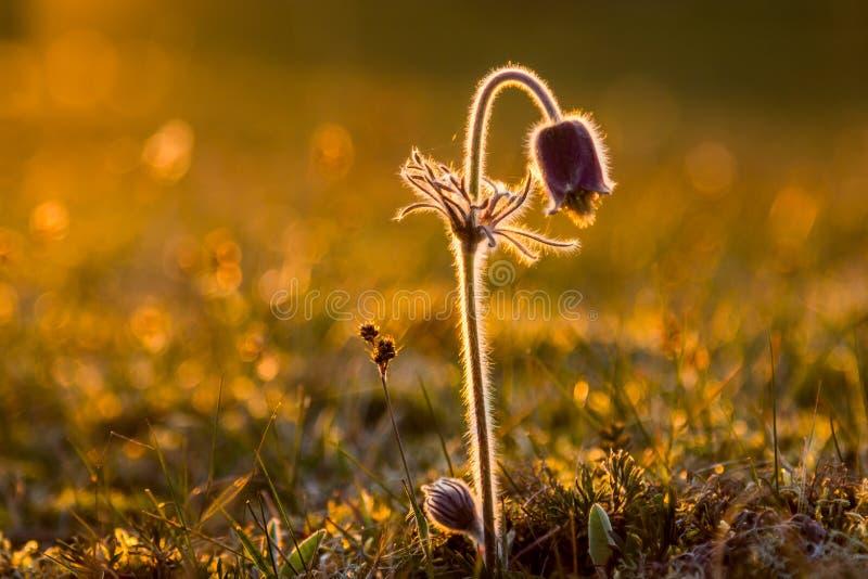 Pulsatilla pasque vulgaris kwiat obrazy stock