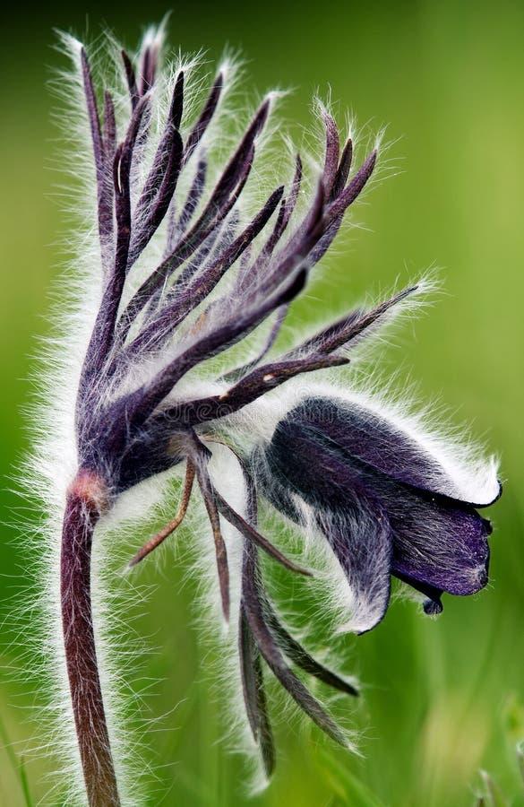 Download Pulsatilla patens stock image. Image of flouring, flourishing - 22264707
