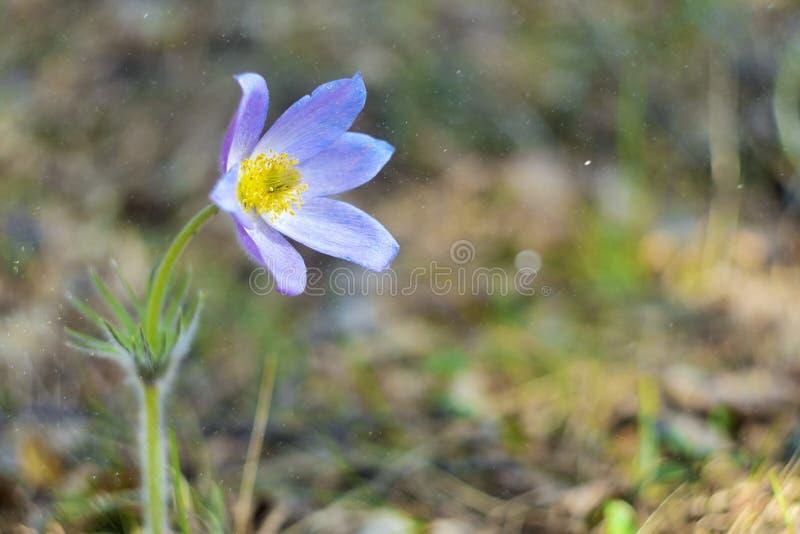 Pulsatilla patens of Prairiekrokus De violette bloemen sluiten omhoog Pasqueflowers Wilde de Lente mooie Bloemen royalty-vrije stock fotografie