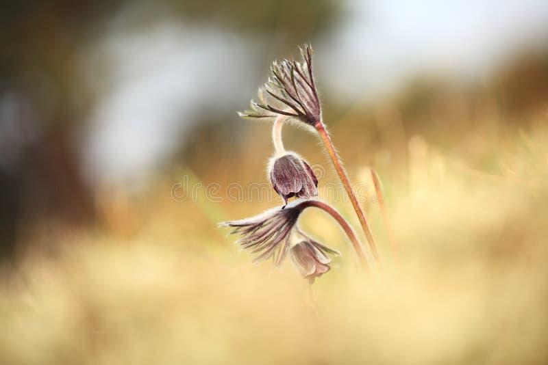 Download Pulsatilla Pratensis Ja R W Pogodnych I Jaskrawych Miejscach Zdjęcie Stock - Obraz złożonej z violetta, wiosna: 106909998