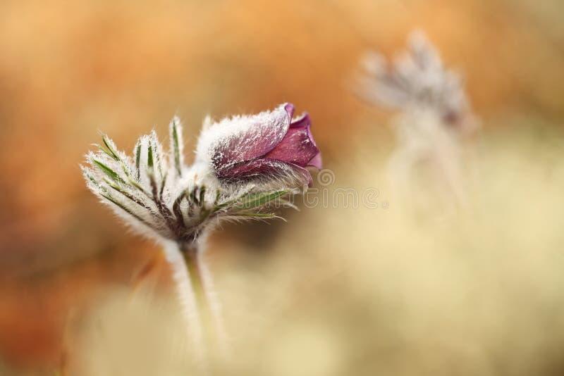 Download Pulsatilla Pratensis Ja R W Pogodnych I Jaskrawych Miejscach Zdjęcie Stock - Obraz złożonej z wildflower, zbliżenie: 106910000