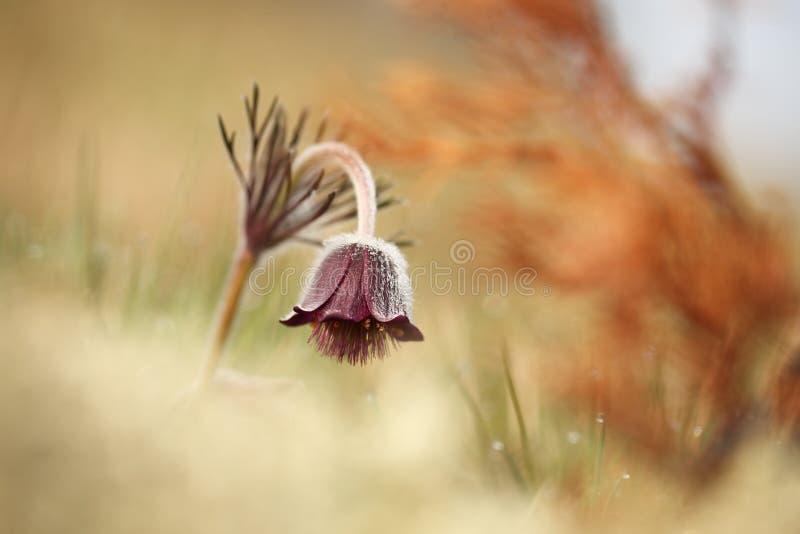 Download Pulsatilla Pratensis Ja R W Pogodnych I Jaskrawych Miejscach Obraz Stock - Obraz złożonej z roślina, zbliżenie: 106910065