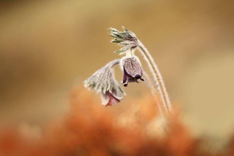 Download Pulsatilla Pratensis Ja R W Pogodnych I Jaskrawych Miejscach Obraz Stock - Obraz złożonej z roślina, naturalny: 106910267