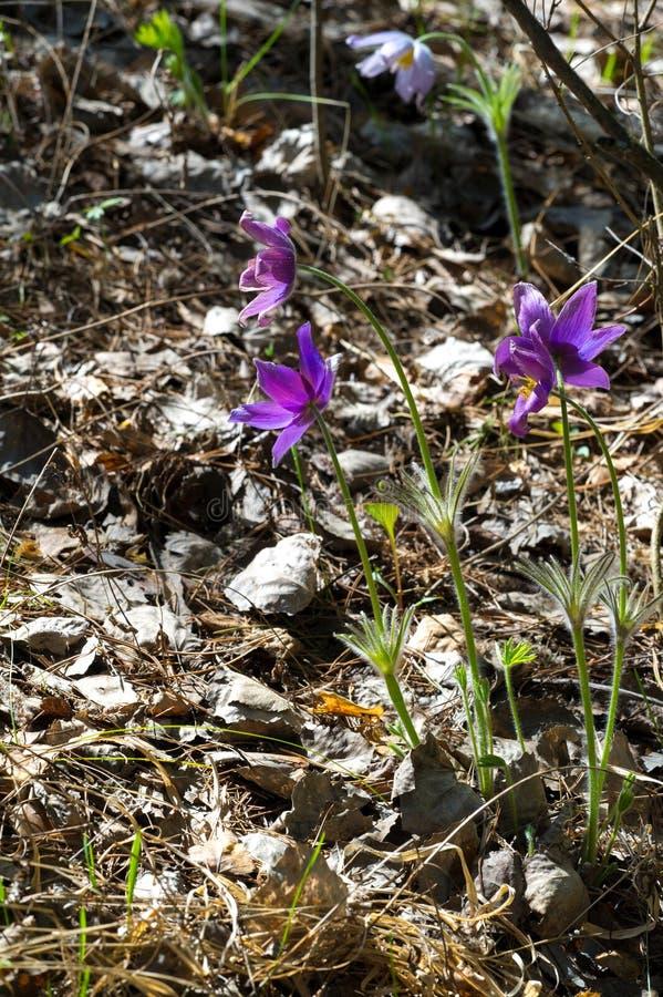 Pulsatilla pratensis (kleine pasque Blume) ist Spezies des g lizenzfreies stockbild